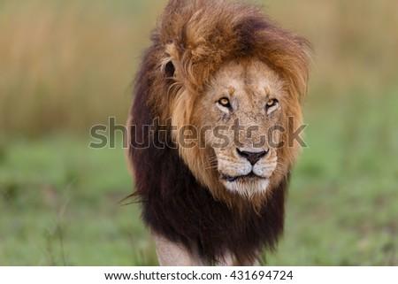 Big Lion Notch II in Masai Mara, Kenya - stock photo