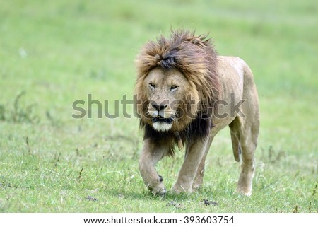 Big lion on savannah grass