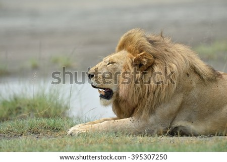 Big lion on savannah grass - stock photo