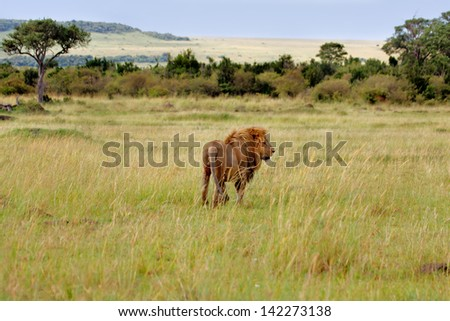 Big Lion on the way to his pride in the beautiful landscape of Masai Mara, Kenya - stock photo