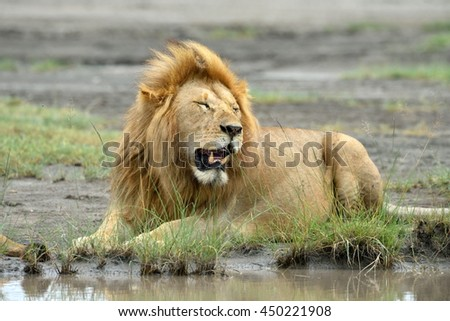 Big lion sitting by the water