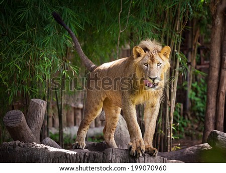 Big lion standing . Landscape with characteristic trees on the plain in the background - stock photo