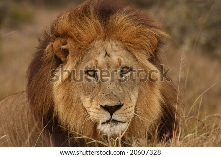 Big lion staring at me for the photo. - stock photo