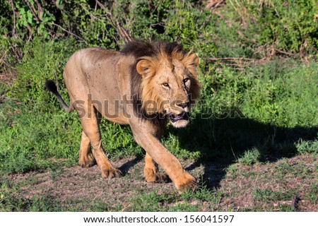 Big lion with his shadow in Tarangire National Park, Tanzania