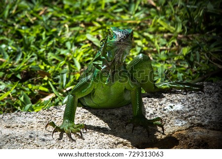 Big lizard, chameleon, portrait of the animal in Everglades Nation Park, Florida, Miami, US.