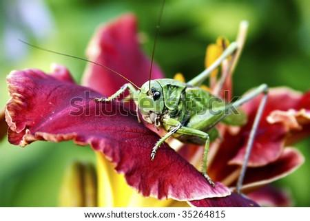 Big locust on the purple flower; Dectius Verrucivorus - stock photo