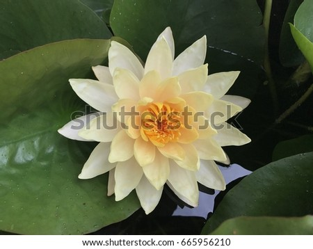 Big lotus flower pond stock photo 665956210 shutterstock big lotus flower in the pond mightylinksfo Image collections