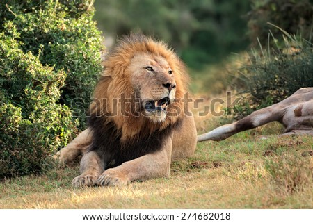 Big male African lion (Panthera leo) guarding his prey, South Africa - stock photo
