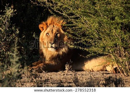 Big male African lion (Panthera leo) in natural habitat, South Africa - stock photo