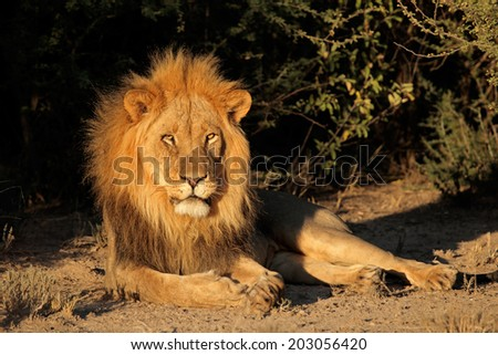 Big male African lion (Panthera leo) resting, South Africa - stock photo
