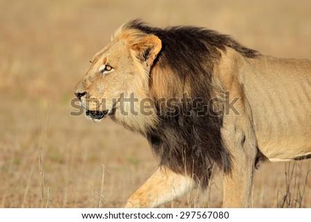 Big male African lion walking (Panthera leo), Kalahari desert, South Africa - stock photo