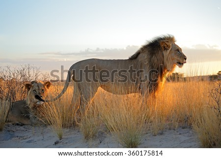 Big male African lions (Panthera leo) in early morning light, Kalahari desert, South Africa