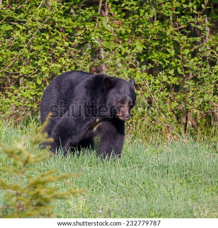 Big male black bear