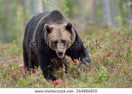 Big male brown bear in the forest - stock photo