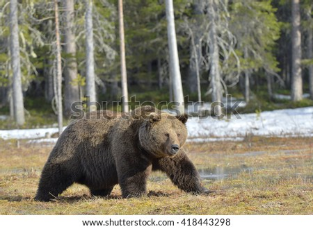 Big male brown bear (Ursus arctos) on a bog in the forest  in spring.  - stock photo