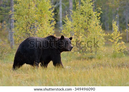 Big male brown bear with forest background. Blurry arctic european taiga forest in background.