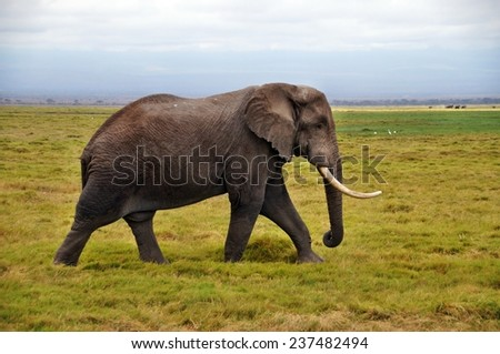 Big male elephant walking near swamp in Amboseli National Park, Kenya - stock photo