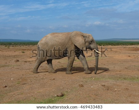Big male elephant with tusk in Addo Elephants National Park South Africa