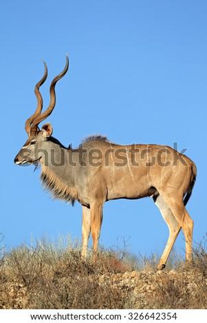 Big male kudu antelope (Tragelaphus strepsiceros) against a blue sky, Kalahari desert, South Africa - stock photo