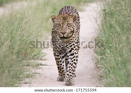 big male leopard walking in path - stock photo