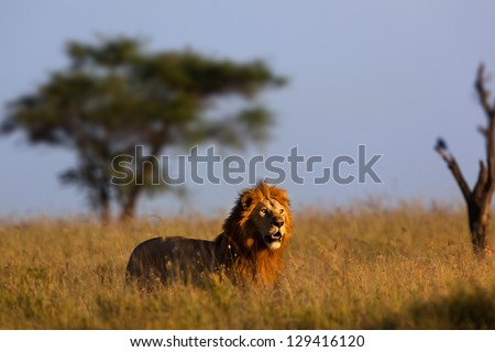 Big male lion in morning light, serengeti - stock photo