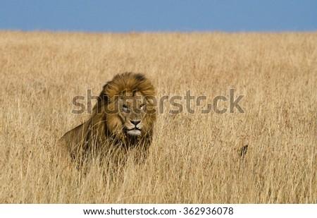 Big male lion in the savanna. National Park. Kenya. Tanzania. Maasai Mara. Serengeti. An excellent illustration. - stock photo