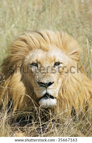 Big male lion looking in the camera