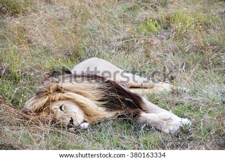Big male lion lying and relaxing with a full belly in dense grassland, National Park in the South Africa, Animals and Nature Concept, outdoors - stock photo