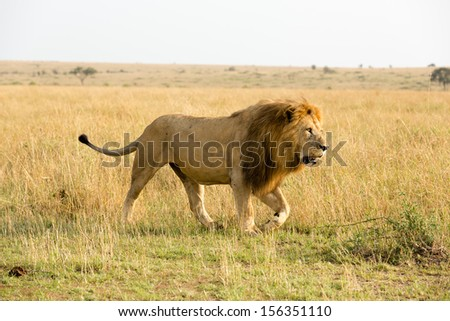 Big Male Lion, Masai Mara, Kenya - stock photo