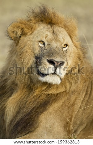 Big Male Lion (Panthera leo) in Kenya's Maasai Mara National Reserve