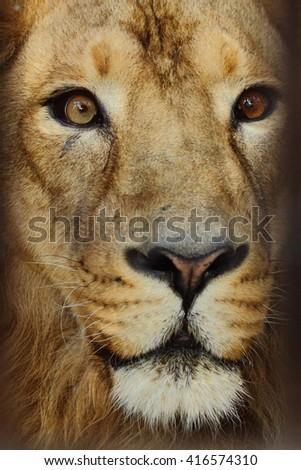 Big male lion portrait - stock photo