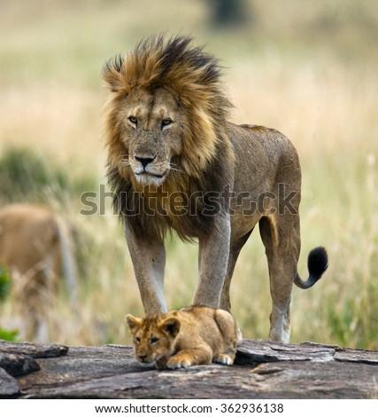 Big male lion with cub. National Park. Kenya. Tanzania. Masai Mara. Serengeti. An excellent illustration. - stock photo