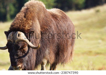 Big male musk ox, Ovibos moschatus, in a prairie looking at camera - stock photo