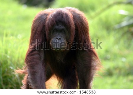 big male orang utan walking toward the camera