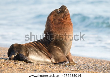 Big Male sea lion seal on Patagonia beach - stock photo