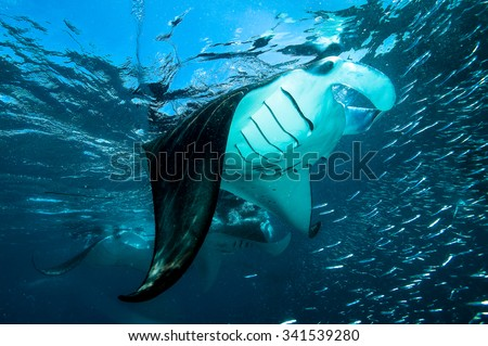 Big Mantas in front of the camera.high visibility in the waters of Indian ocean. - stock photo