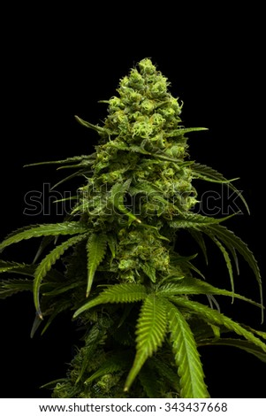 cannabis plant wallpaper black - photo #26