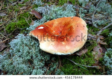Big mushroom with red cap on moss in forest. Closeup view from above.  - stock photo