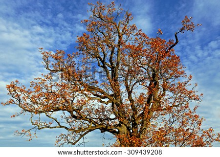 Big Oak Tree with leaves in autumn colors and blue sky