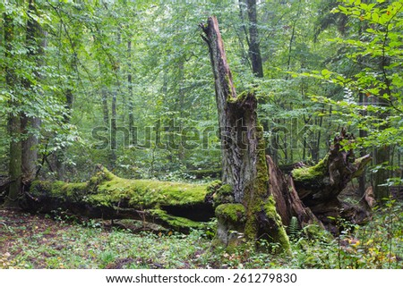 Big old hornbeam broken moss wrapped and partly declined stump in foreground - stock photo