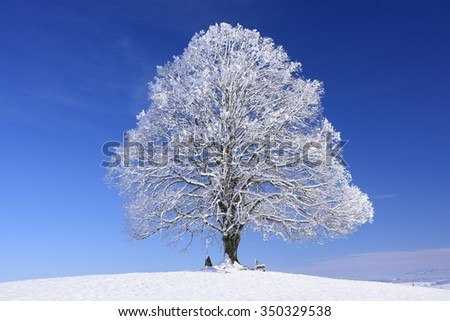 big old linden tree in winter with snow - stock photo