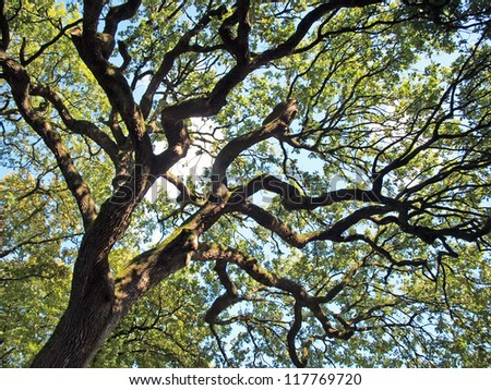 Big old oak - stock photo