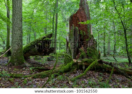 Big old oak broken moss wrapped and partly declined stump in foreground - stock photo