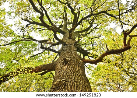 Big old oak tree in the autumn forest. - stock photo