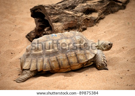 Big old turtle walking slowly on a sand in a Tenerife Loro zoo park - stock photo