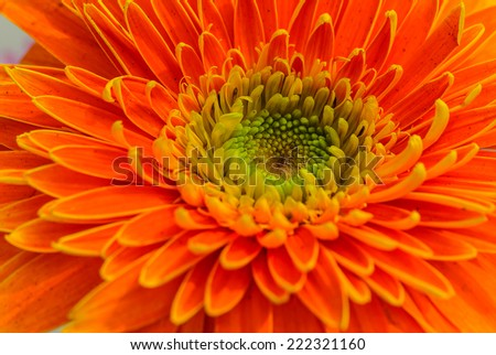Big Orange Gerbera, Photo taken on: Feb 16th, 2013 , Generally in Thailand,