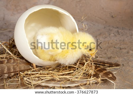 Big ostrich egg and a small newborn easter chick