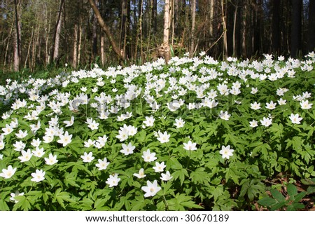 big patch of wood anemone with forest in the background. Wild spring flowers - stock photo