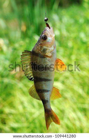 big perch caught on a rubber worm - stock photo