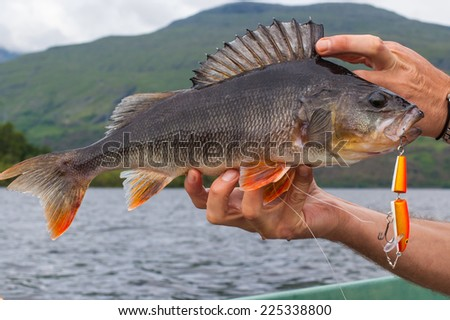 Big perch caught with an orange minnow on the hands of an angler. Lake and mountain in the background. - stock photo